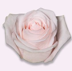 Roses, Bloom, Flowers, Plants, Pink, Rose, Floral, Plant, Royal Icing Flowers
