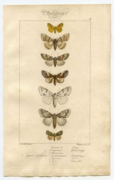 Found this at graphicsfairy.blogspot.com Superb Natural History print from the 1840s! And on it were these stunning vintage Moths, done in the dreamiest palette of creams and browns and whites, and a hint of yellow.