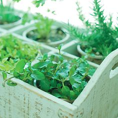 Kitchen Herb Garden (from Taste of Home): Growing herbs is a great idea for cost-conscious kitchen gardeners. Here are our top picks for starting your own kitchen herb garden.