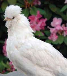 Getting the Facts  on Chicken Breeds