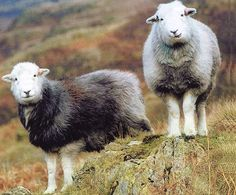 Cute Pair of Sheep on the Farm Hills