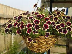 Petunia ampel a kaskáda - rozdíl