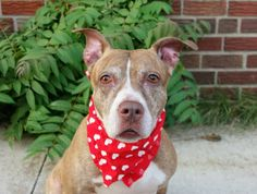 GONE --- TO BE DESTROYED 7/25/14  Brooklyn Center    My name is DIME. My Animal ID # is A1007273.  I am a female br brindle and white pit bull mix. The shelter thinks I am about 11 YEARS old.   I came in the shelter as a OWNER SUR on 07/19/2014 from NY 11238, owner surrender reason stated was INAD FACIL.   https://www.facebook.com/photo.php?fbid=841794142500133&set=a.617942388218644.1073741870.152876678058553&type=3&theater