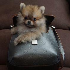 Totally Adorable Pomeranian Puppy in a Handbag