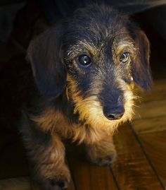 Wirehair Dachshund.     Where can I find one? My first baby was a wire haired doxie girl and I've always loved them, but have seen very few.
