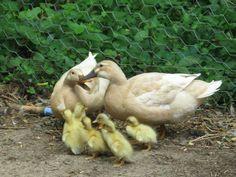 buff duck | Raising Buff ducks for meat | Cape Native