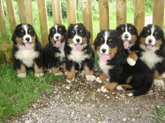 Big litters are normal for Berners.