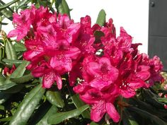 Thank you for taking a look at one of our several hundred Hybrid Rhododendrons we have for sale on Etsy and our website! At RhododendronsDirect.com, all we do is Rhododendrons.    Product Description         Bloom Color: Red    Bloom Season:  Mid Season    Plant Height(potential in 10 years): Eight Feet    Hardy to:  -10        Container Size/Age:  One Gallon Containers - These rhododendrons come in various plant sizes and will be rooted into a one gallon container. These range from being a…