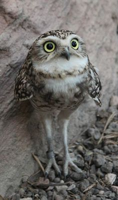 Source: Flickr / ingridwijne  #burrowing owl