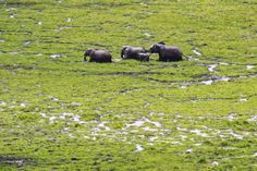 A herd of elephants walk in the swamp at the Amboseli National Park in southern Kenya, October 8, 2013. The country's wildlife authority Kenya Wildlife Service (KWS) and Tanzania's government agencies, joined by various wildlife NGOs such as African Wildlife Foundation (AWF), on 08 October have begun a week long aerial census of elephants and other large mammals in the shared ecosystem of the Amboseli-West Kilimanjaro and Natron-Magadi landscape in an effort to establish the populations and…