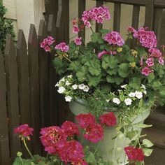 Geraniums in full bloom really make an impact. Flowers come in many different colors and may be single or double. Pinch off old, faded blooms to keep new flowers forming. Container Flowers, Pink Geranium, Bloom, Plants, Beautiful Flowers, Geraniums, Garden Inspiration, Flowers, Container Gardening