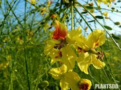 parkinsonia_aculeata Άνοιξη - Καλοκαίρι - Αλλά και σποραδικά τον υπόλοιπο χρόνο, 7-11, sh. pak