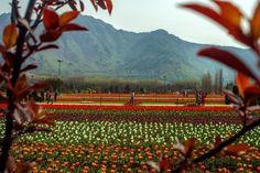 【行ってみたい場所】 Tulip flowers are in full bloom in Siraj Bagh,   on March 29, 2016 in Srinagar, the summer capital of Kashmir, India.