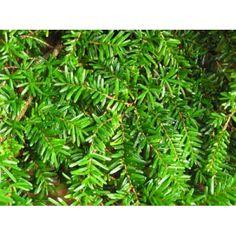 Hemlock - Tsuga canadensis