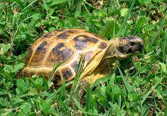 Photo Tortue de Horsfield - Tortue des steppes (Agrionemys horsfieldii)