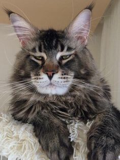 This kitty looks like a grumpy old man Cute Cats And Dogs, Cool Cats, Cats And Kittens, Beautiful Cats, Animals Beautiful, Cute Animals, Bilbao, Big House Cats, Exotic Cats