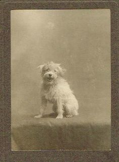 Old Photograph Small Terrier Dog Studio Photo Vintage C 1920 | eBay