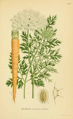 Queen Anne's Lace | Monographs | The Herbarium