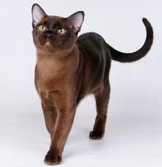 Just like my beautiful Fenn (Burmese cats have an awesome ability to love and will often require a lot of attention since they are so loving. They should not be a cat that is left alone all day while you are at work. If you are away a lot, get 2 Burmese and you will get 2 very blissful cats.)