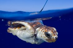 Researchers used teeny, tiny, solar-powered tags to solve the mystery of juvenile loggerheads' first journey: http://bit.ly/1qE8kmn.  Sea Turtles' Lost Years « Life  « Science Today