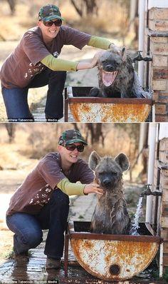 Even hyenas need a bath.