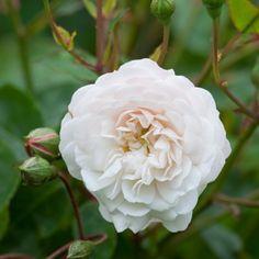 Rose 'Little White Pet'