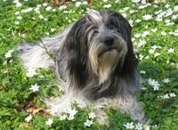 schapendoes dog photo | SCHAPENDOES - DUTCH SHEP DOG - RAZAS DE PERROS EN ARGENTINA 2013