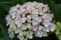 Dear God,   Please help me to keep my lone remaining, sole surviving Ayesha hydrangea alive. The other two: RIP.  Amen.