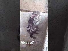 Rat taking a shower / Rata bañandose ( Full HD )