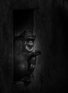 Chimpanzee - Glossy Print