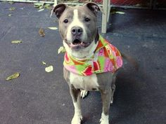 TO BE DESTROYED - 12/03/14 Manhattan Center -P BLUEBERRY - A0682676 *** RETURNED ON 11/15/14 - STRAY *** SPAYED FEMALE, GRAY / WHITE, PIT BULL MIX, 8 yrs STRAY - STRAY WAIT, HOLD FOR ID Reason STRAY Intake condition GERIATRIC Intake Date 11/15/2014, From NY 10460, DueOut Date 11/23/2014, https://www.facebook.com/photo.php?fbid=907883129224567