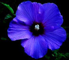 Blue Rose of Sharon~