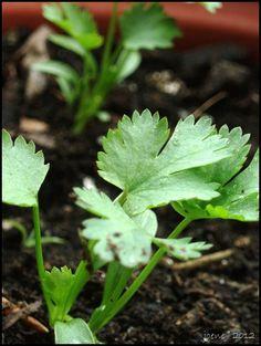 How to grow cilantro.