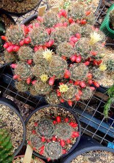 Cactos e Suculentas: Mammillaria prolifera
