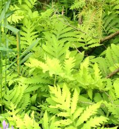 Sensitive Fern - Onoclea sensibilis - is a great groundcover fern for shade and part-sun. It even stands a bit of drought. No winter interest but still, it's a lovely blue-green shade and has fairly bold texture.