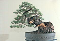 Pinus silvestris: Sandro Segneri bonsai design www.bonsaicreativo.it