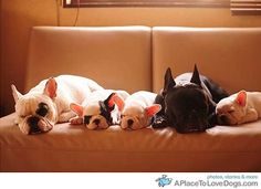 5 Frenchies in a row