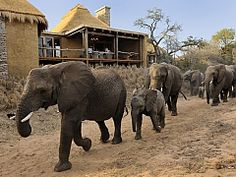 Camp Jabulani Safari Lodge Hotel close to Kruger National Park Game Reserve Big 5 Luxury Suites honeymoon, families, trips and tours African Animals, African Safari, Kruger National Park, National Parks, Private Games, Adventure Activities, Game Reserve, Lodges, South Africa