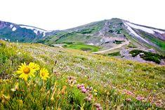 WILDFLOWERS HIGH TUNDRA ROCKY MOUNTAIN NATIONAL PARK COLORADO
