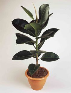 Indian rubber fig or Rubber plant (Ficus elastica robusta), Moraceae. Indoor Garden, Indoor Plants, Trees To Plant, Plant Leaves, Ficus Elastica, Welcome To The Jungle, Interior Plants, Houseplants, Bonsai