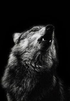 Stunning Wolf photo... Wild Royalty