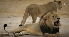 Dentist from Minnesota is accused of killing Cecil, a beloved lion in Zimbabwe http://nyti.ms/1gkfR9q