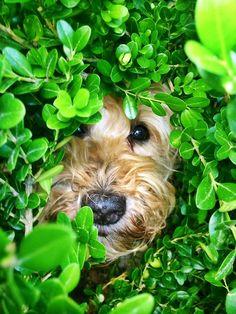 Mia the wheaten terrier