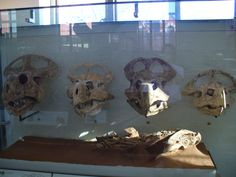 Crânes de Protoceratops à AMNH. Showing growth rates (ontogeny) in dinosaurs.
