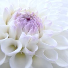 Glowing white and lavender Dahlia flower by Jennie Marie Schell.