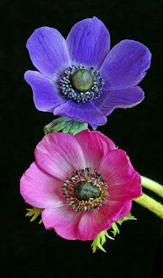 A close-up view of the anemone Tropical Flowers, Fresh Flowers, Types Of Flowers, Pretty Flowers, Purple Flowers, Anemone Flower, Flower Art, Orquideas Cymbidium, Most Beautiful Flowers