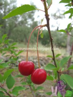 sapounismata : Τσαι απο κοτσανια κερασιων