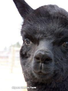 HUACAYA CRIA. Alpaca Sunrise Farm is a full-service Alpaca farm since 1998 • Alpaca sales • breeding • boarding • Alpaca raw fiber, yarn, roving sales for knitters, crocheters, weavers and fiber artists. www.AlpacaSunrise.com #alpaca #alpacas Sunrise Farm, Alpacas, Lambs, Animals And Pets, Sheep, Goats, Fiber, Pajamas, Artists