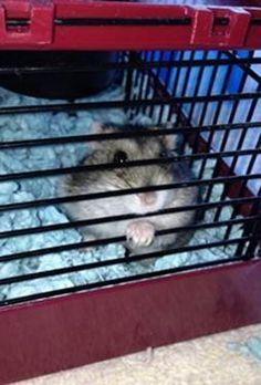 Dwarf Hamster Adoption / Rescue in Flower Mound Texas - Dwarf Hamster Blog Russian Hamster, Dwarf Hamsters, Flower Mound, Animal Shelter, Chloe, Adoption, Texas, Creatures, Board
