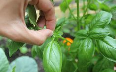 Harvesting Herbs 101 (Basil, Chives, Cilantro/Coriander, Mint, Parsley, Rosemary, Sage, Tarragon, Thyme)